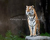 Amur Tiger, JT Bronevik, surveying his domain.