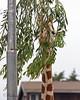 Acacia branches make great Giraffe camouflage!  (Reticulated Giraffe)