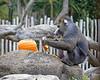 Mandrill, Big Joe, has taken the top off of his pumpkin, and is now schredding it.