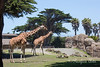 Reticulated Giraffes, Bititi & Eve, strolling around the African Savannah exhibit.