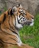 Sumatran Tiger profile  (Leanne)