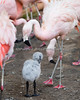 Grooming the baby fluff!<br /> (Chilean Flamingo chick)