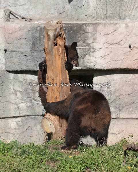 Black Bear cubs chasing each other.
