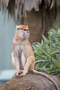 Well...it's not Winnie, and it's not Emma, so it must be Freeda.  It's hard to tell them apart these days.  (Patas Monkey)