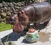 Thanks Keepers!  I love my cake!  (Nile Hippopotamus, Bruce)