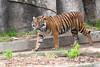 Sumatran Tiger, Jillian