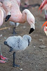 Practice makes perfect!  <br /> (Chilean Flamingo chick)