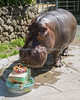 Bruce taste testing the carrot candle at his birthday party.  (Nile Hippopotamus)