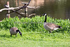 Canada Geese checking out possible nesting grounds near Eagle Island.  (wild)