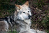 Mexican Gray Wolf, Prince