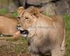 Look at the size of this guy!  (African Lion, Jasiri, about 17 months old)