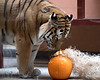 Amur Tiger, J.T, received a beautifully decorated pumpkin during Boo at the Zoo!