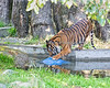 Siberian Tiger, larry, playing with his enrichment ball in the pool.