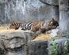 Sumatran Tiger, Larry, in dreamy-land