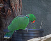 Here is the male Eclectus Parrot