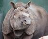 Greater One-horned Rhinoceros, Gauhati, wearing his armor.
