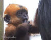 Little Kerr staying close to mom, Kathleen.  (Francois' Langur)
