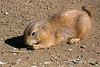 One of the young Black-tailed Prairie Dogs, near the Children's Zoo, nibbling on a snack.