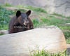 Juneau looking for her buddy, Valdez.  (Black Bear cub)