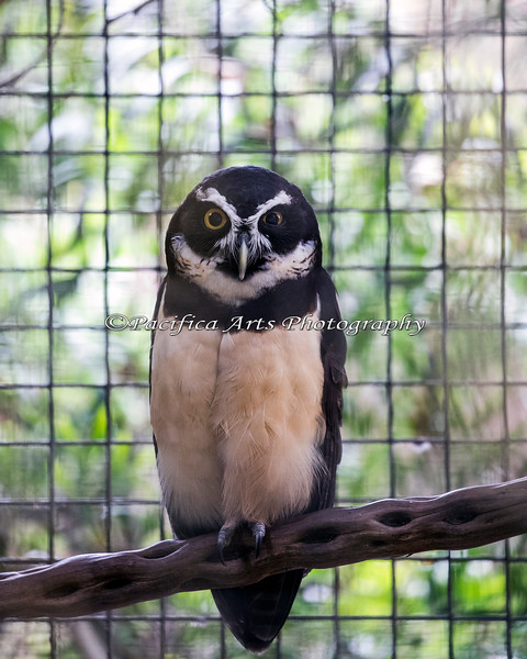 Quetzal, a Spectacled Owl.  He lives in an aviary, just outside the Family Farm.