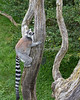Ring-tailed Lemurs are great climbers.