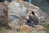 Grizzly Bear, Kiona, has found the perfect leaning spot.