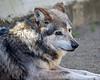 Wolf, Mexican Gray - Garcia
