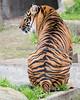 Jillian's stripes. (Sumatran Tiger)
