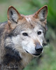 Close-up of Mexican Gray Wolf, Bowie