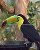 Keel-billed Toucan coming down for lunch.