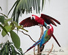 Green-winged Macaws having fun climbing on the branches, in the South American Tropical Rainforest & Aviary.