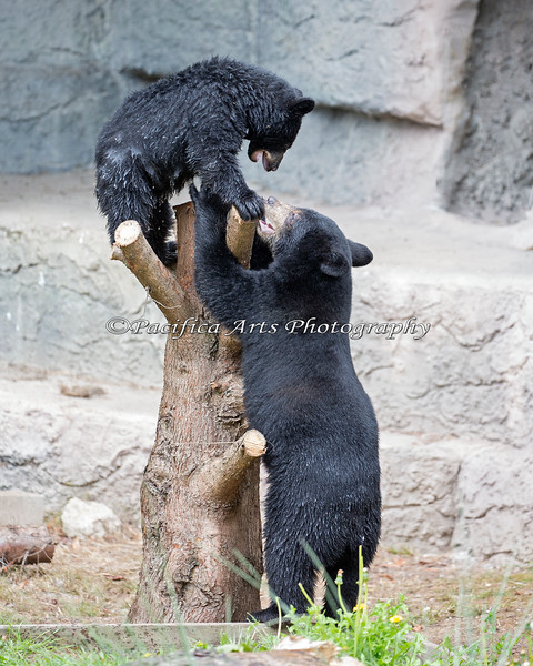 It's FUN at the top!  (Black Bear cubs)