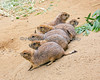 Hanging out on the slope.  (Black-tailed Prairie Dogs)