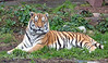 Amur Tiger  (J.T. Bronevik)