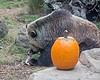 Kachina uses those long bear claws to get the morrow out of the bone, during Boo at the Zoo.