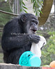 Cobby discovers a bag of goodies during Boo at the Zoo.  (Chimpanzee)