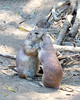 Prairie Dog Kisses