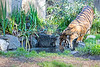 Larry, at the waterhole (Sumatran Tiger)