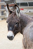New Miniature Donkey at the Family Farm.  Her name is Shaniah.