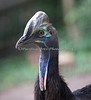 Here's a new face!  She is a young Double-wattled Cassowary!
