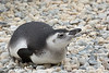 A plump little Magellanic Penguin chick!