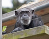 Leeks are Yummy!  (Chimpanzee, Maggie)