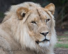African Lion, Jasiri, growing as handsome as his father.