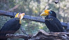 A pair of Wrinkled Hornbills.  They live just across from the Chimpanzees.
