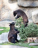 When you get your Christmas tree home, first you have to figure out where to put it!<br /> (Black Bear cubs, Valdez & Juneau)