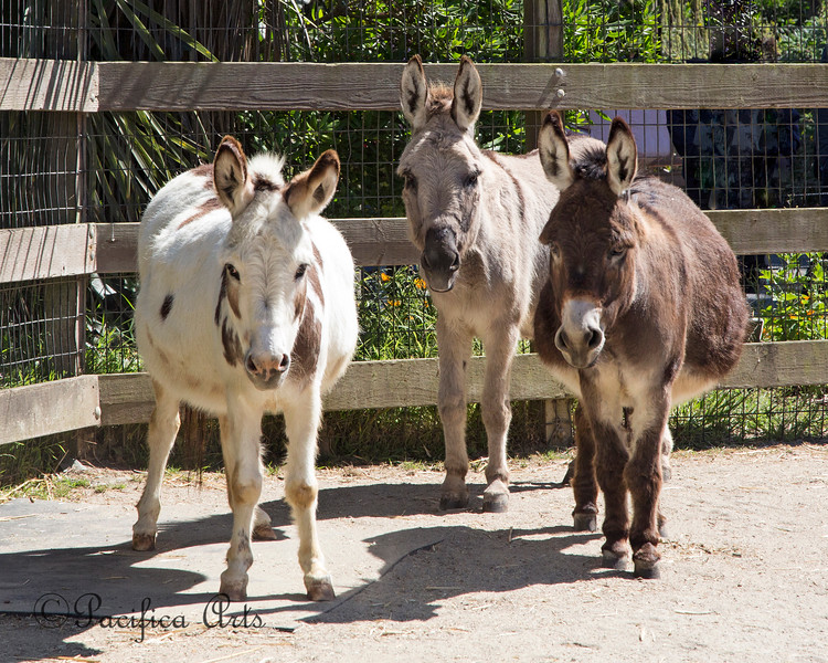 Miniature Donkeys - Luna, Clint & Pablo.  They live on the Family Farm.