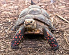 Here's a new face at the South American Tropical Rainforest & Aviary - a Red-footed Tortoise!