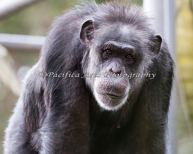 "Chimpanzee, ""Minnie"""