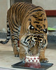 Jillian makes the meatballs disappear on her birthday cake.  (Sumatran Tiger)