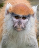 Portrait of JP, a young Patas Monkey.